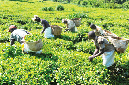 BUSY:  Workers at a tea plantation. In most cases such workers do not get to know that some days are public holidays.